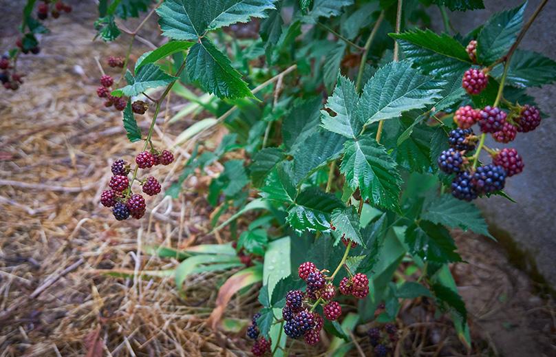 Mulching Blackberries