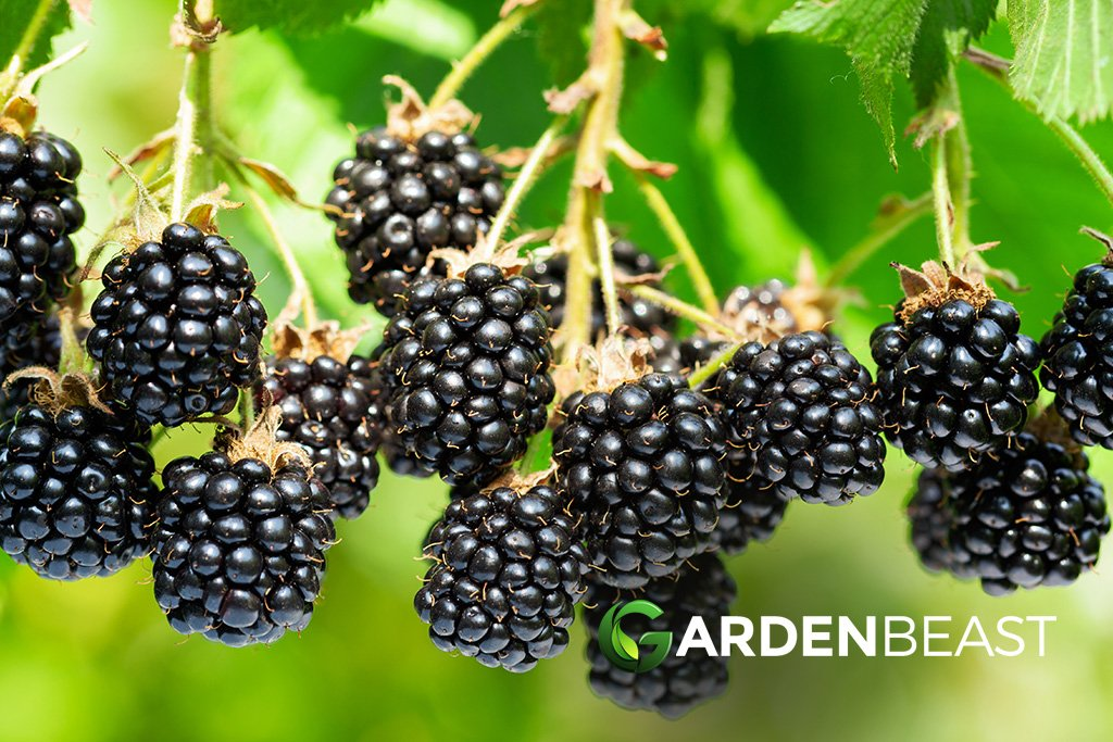 How To Grow Blackberries Tips For