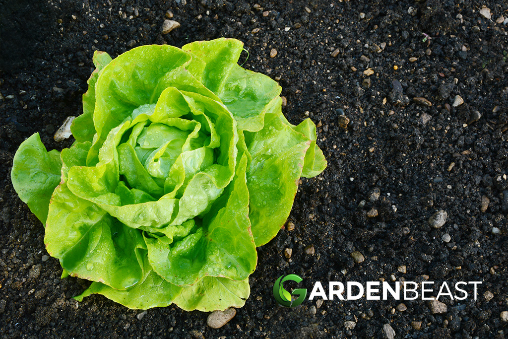 How To Grow Lettuce Tips For Planting Growing Complete Guide