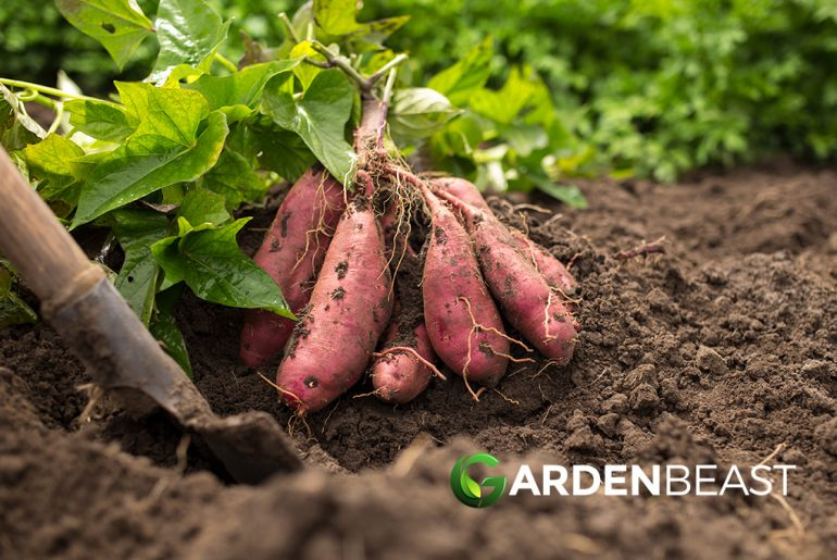 How to Grow Sweet Potatoes