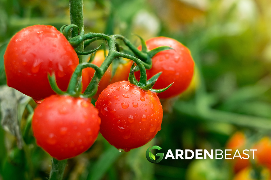 How To Grow Tomatoes Tips For Planting Growing Complete Guide