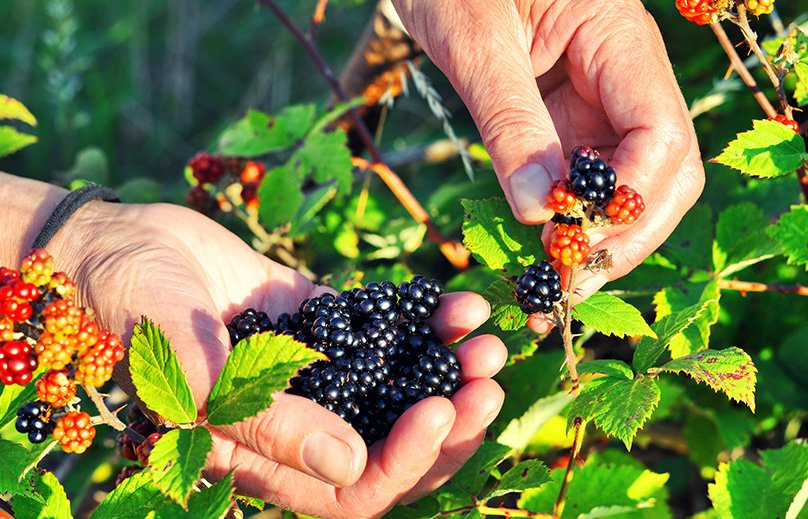 Harvesting Blackberries