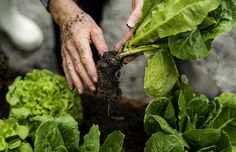 Harvesting Your Lettuce