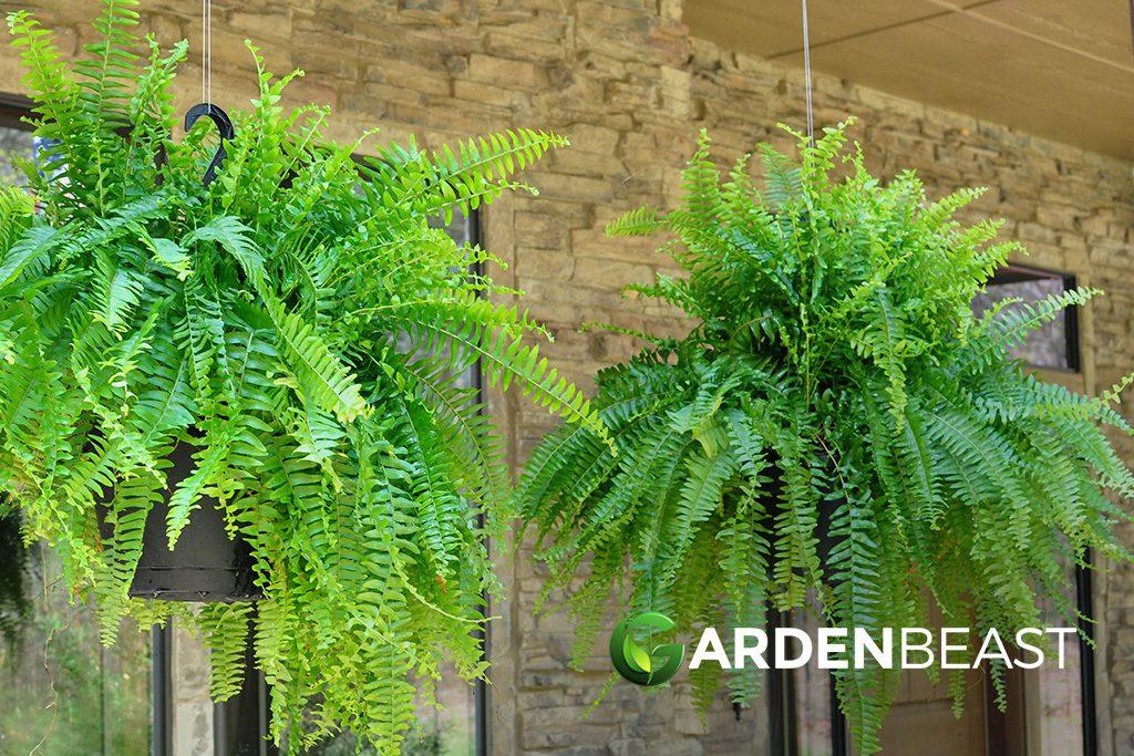 Hanging Ferns