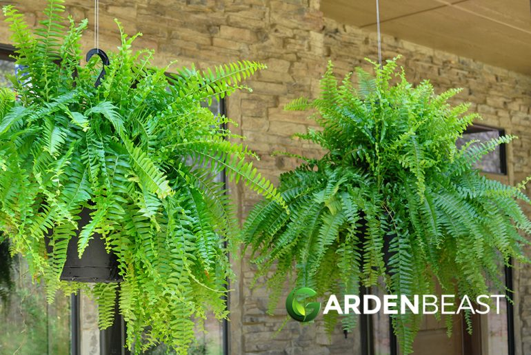 Hanging Ferns
