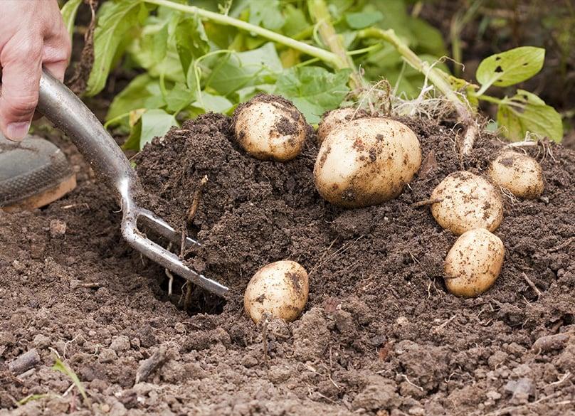 Harvesting your Potatoes