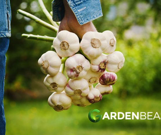 How to Plant & Grow Garlic: Complete Guide