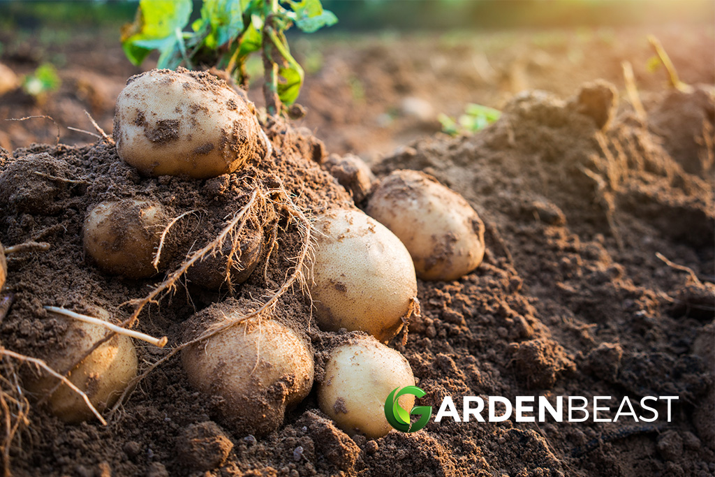 How To Grow Potatoes Tips For Planting Growing Complete Guide