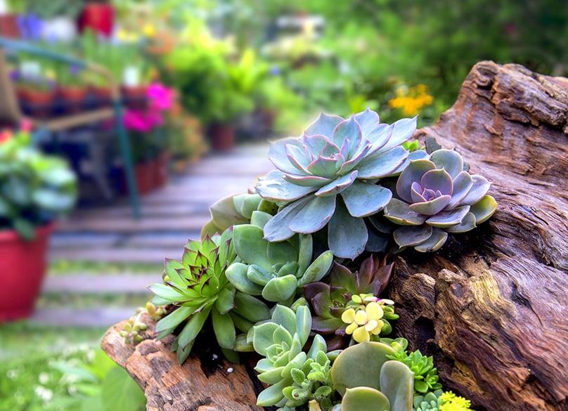 Succulents in Yard