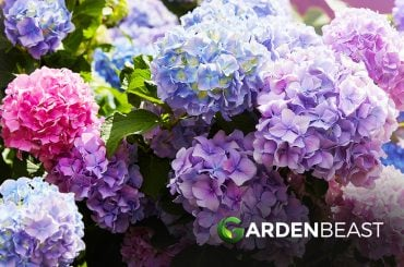 How to Grow Hydrangeas