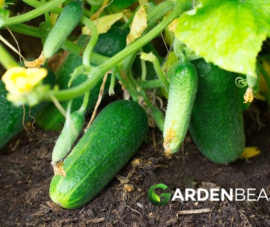 How to Plant & Grow Cucumbers: Complete Guide