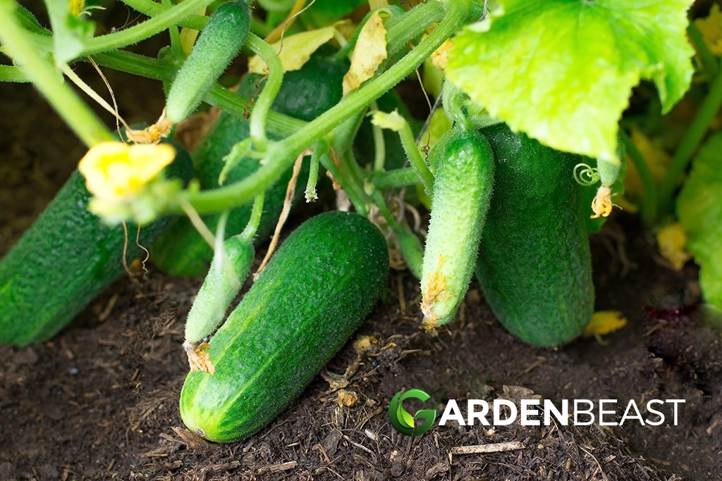 How To Grow Cucumbers Tips For Planting Growing Complete Guide