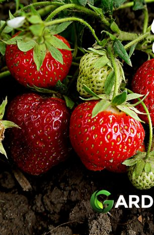 How to Grow Strawberries: Complete Guide