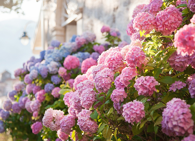 Hydrangeas come in a variety of colors