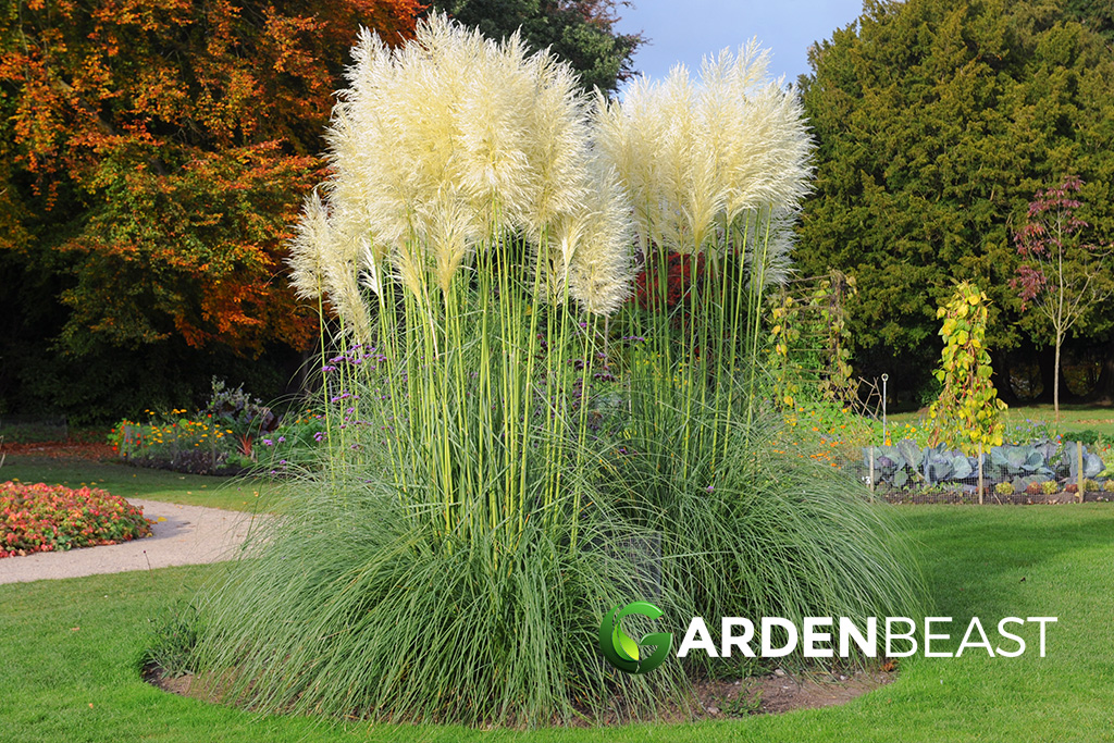 Complete Guide To Pampas Gr How Grow Care For It