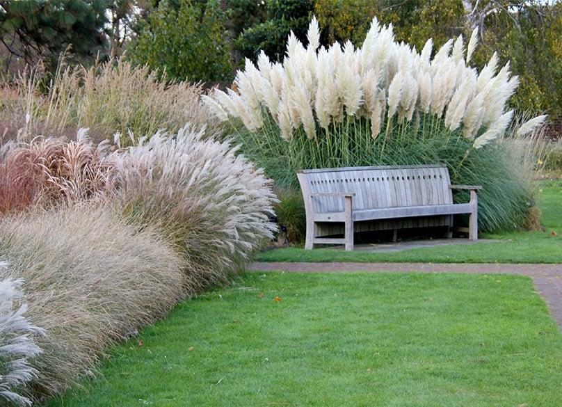 Pampas Grass Growing
