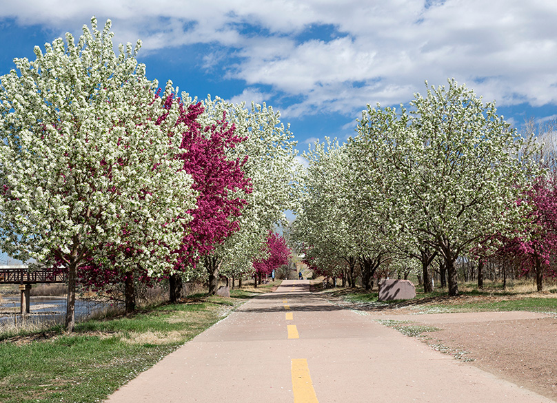 Crabapple Tress in Bloom