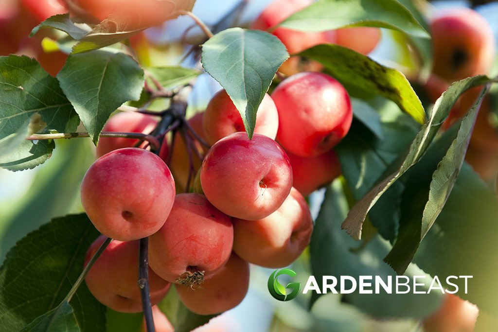 Crabapples Guide Are They Safe To Eat What Can You Do With Them