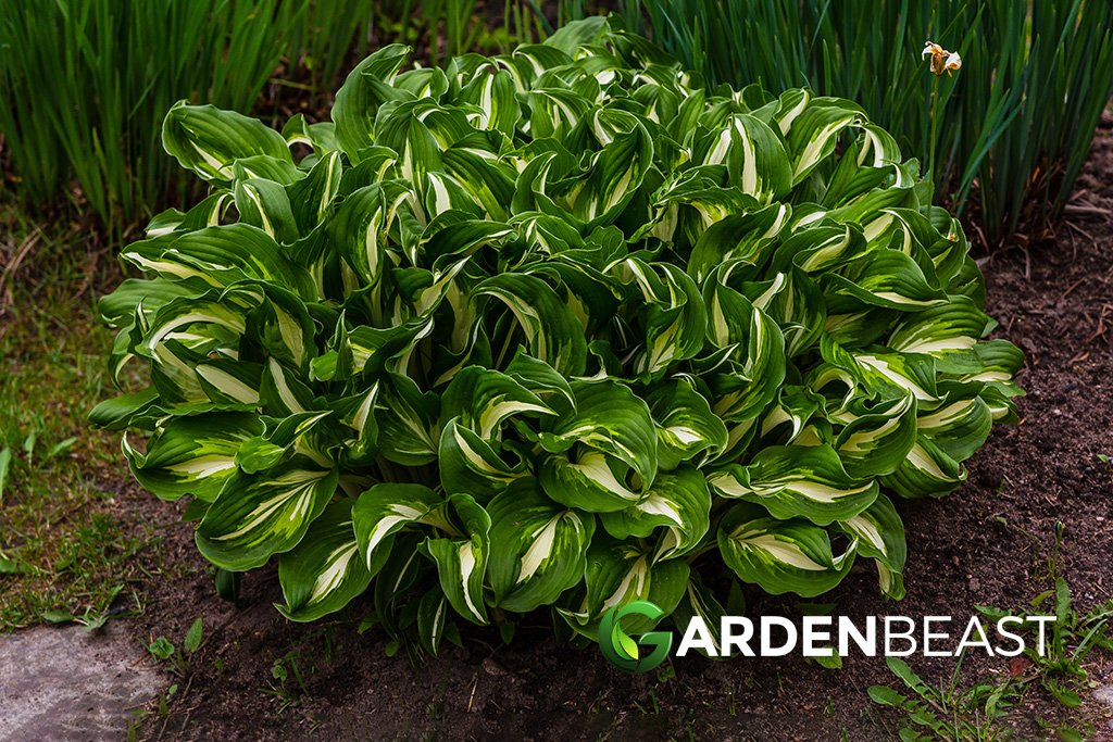 Complete Guide To Hostas How To Plant Grow Care For Them
