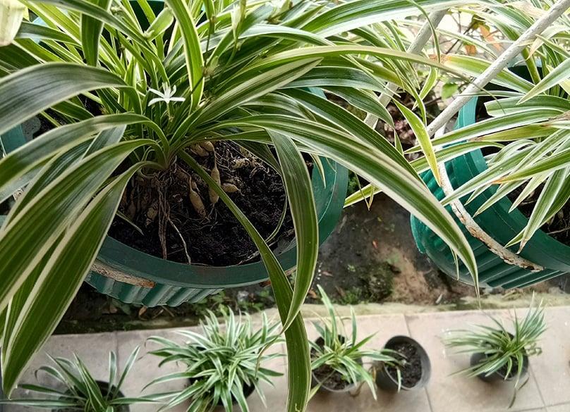 Planting Spider Plants