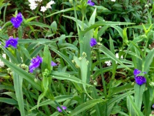 Complete Guide To Spiderworts How To Grow Care For Spiderwort Plants,Top Furniture Stores