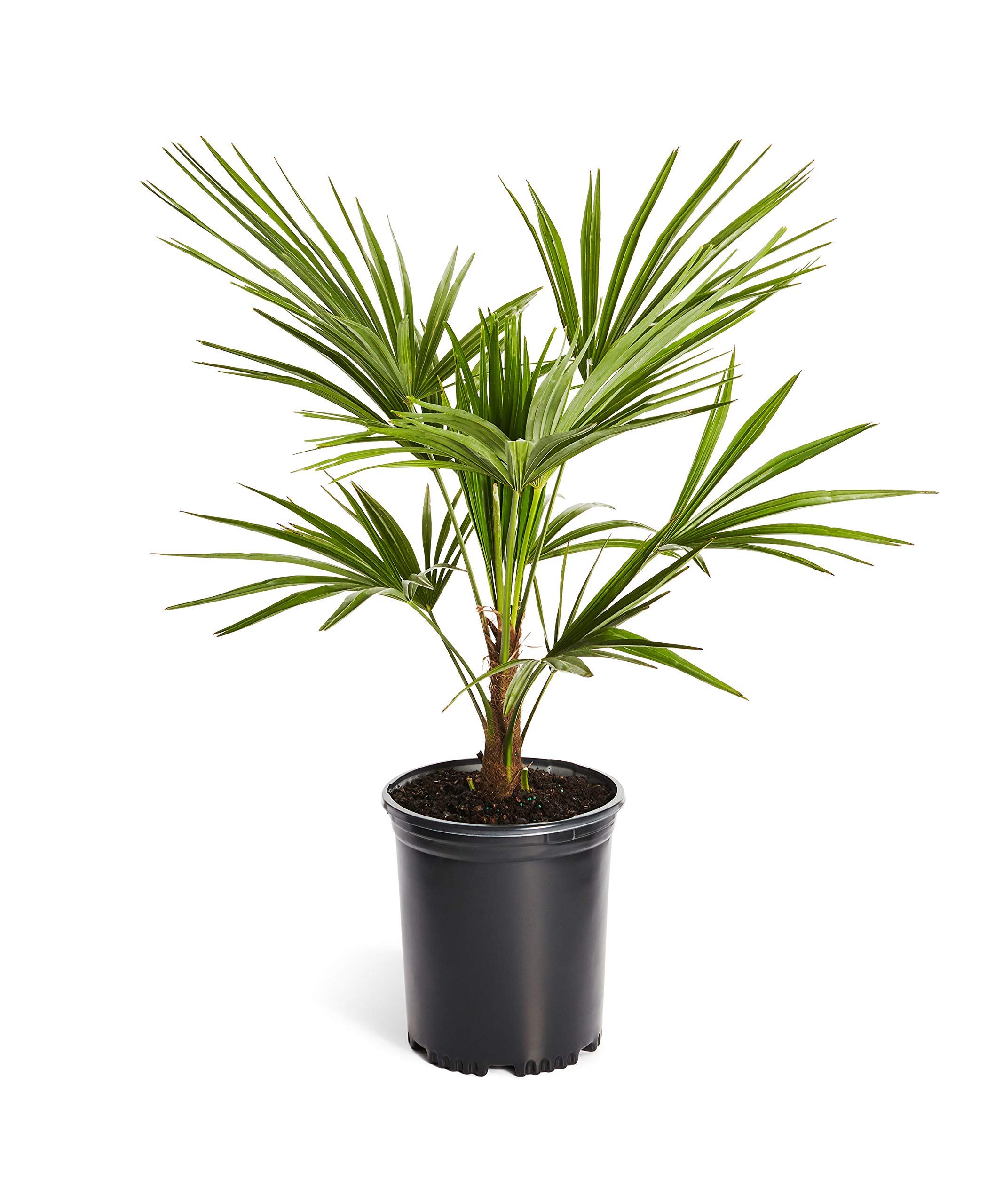 Garden Palm Trees How To Plant Care