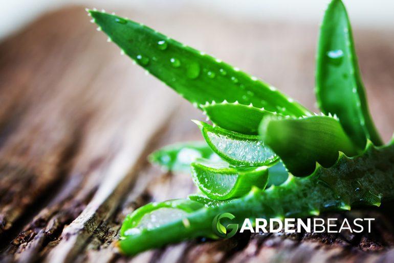 Aloe Vera Plants Guide
