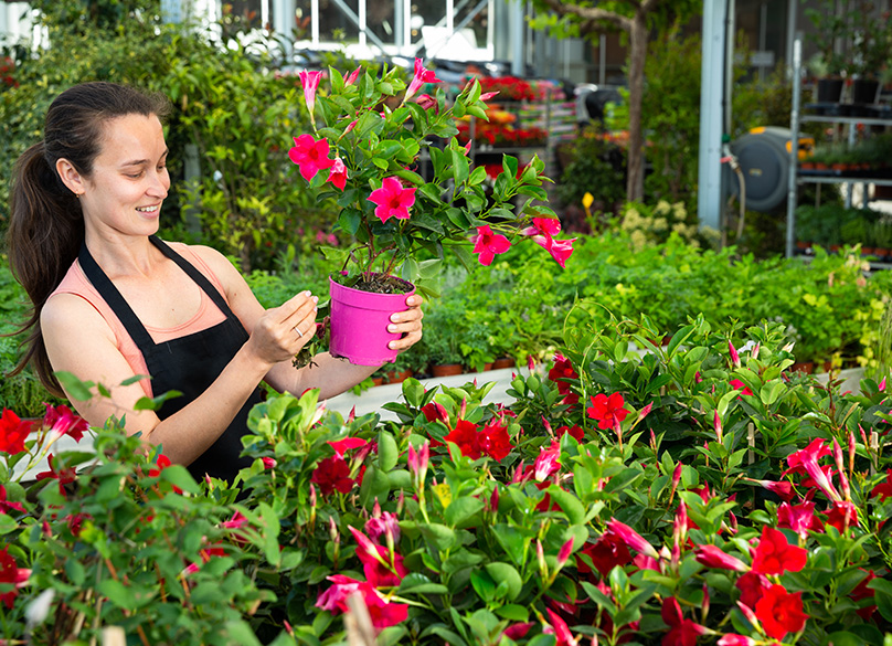 cultivating Dipladenia (Mandevilla) in greenhouse