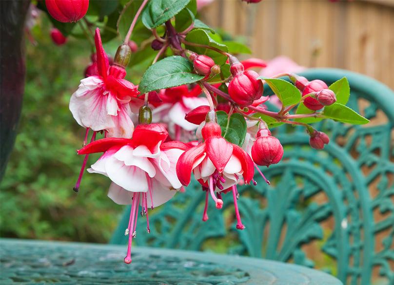 Fuchsias make a beautiful addition to gardens