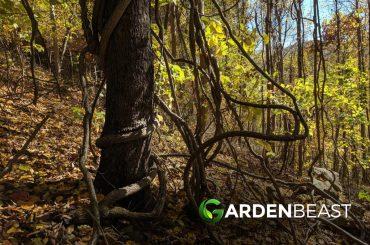Invasive Trees