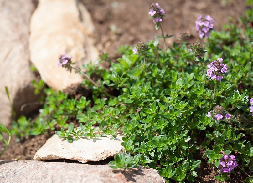 Creeping thyme grows best in soil with an alkaline balance