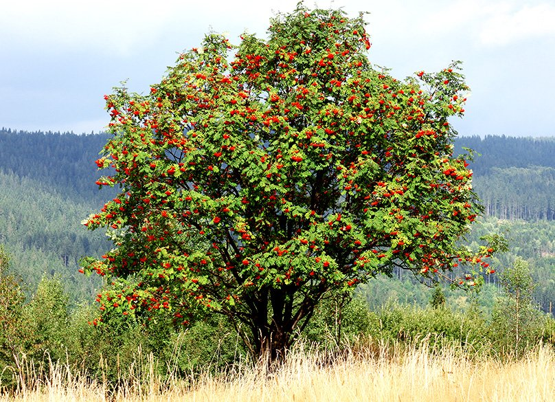 Rowan Tree in the Wild