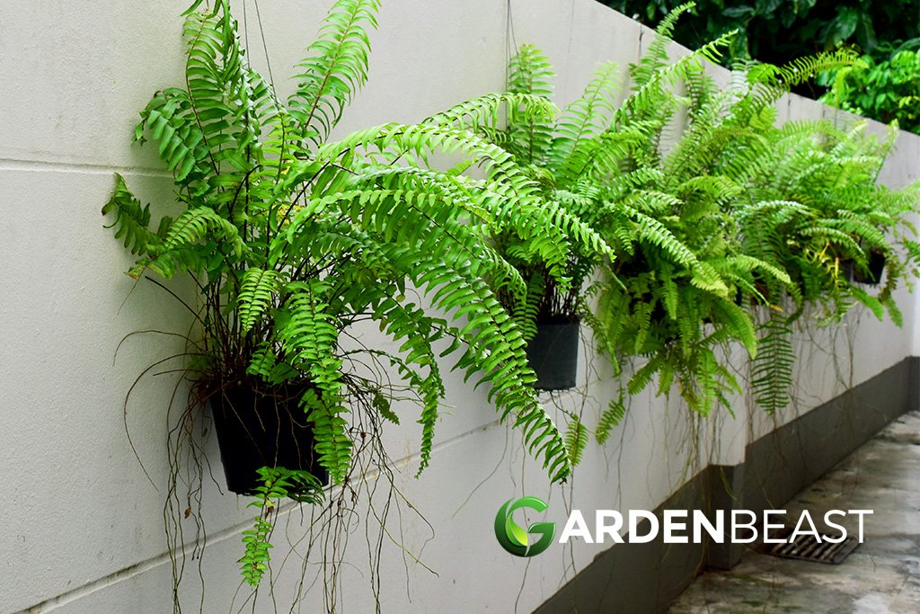 Complete Guide To Boston Ferns How To Grow Care For Them