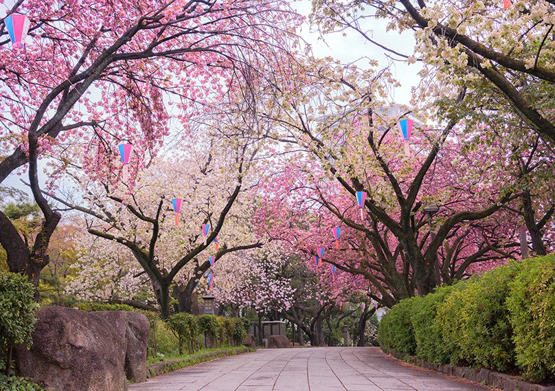 Complete Guide To Weeping Cherry Tree How To Grow Care For Them