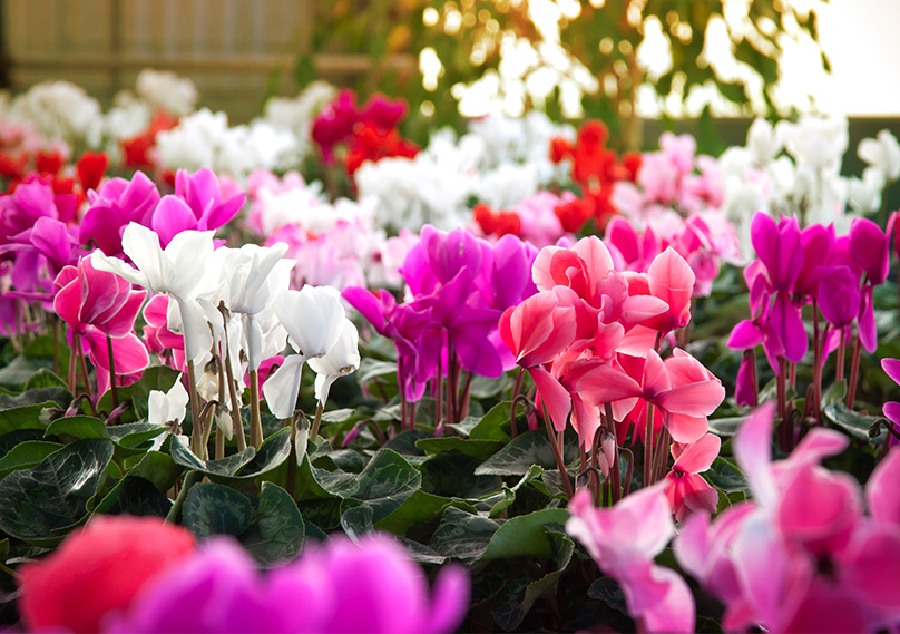 Stunning colors of the Cyclamen
