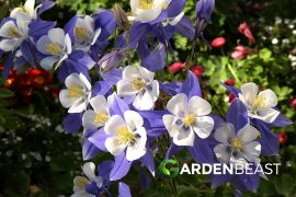 Complete Guide to Columbine Flowers