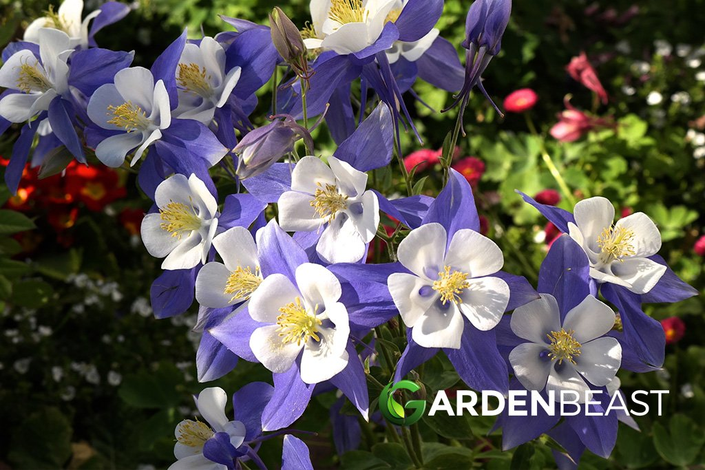Guide To Columbine Flower How To Plant Care For Columbine Flowers