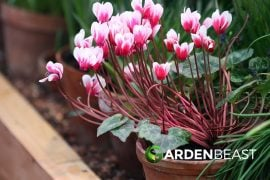 Complete Guide to Cyclamen