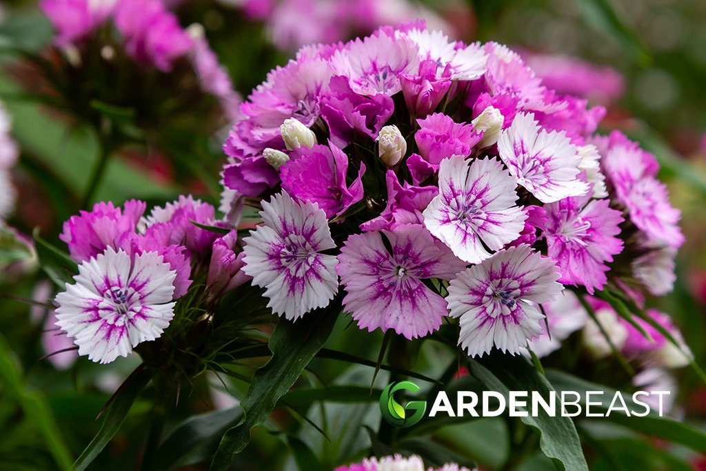 How To Grow Care For Dianthus Flowers
