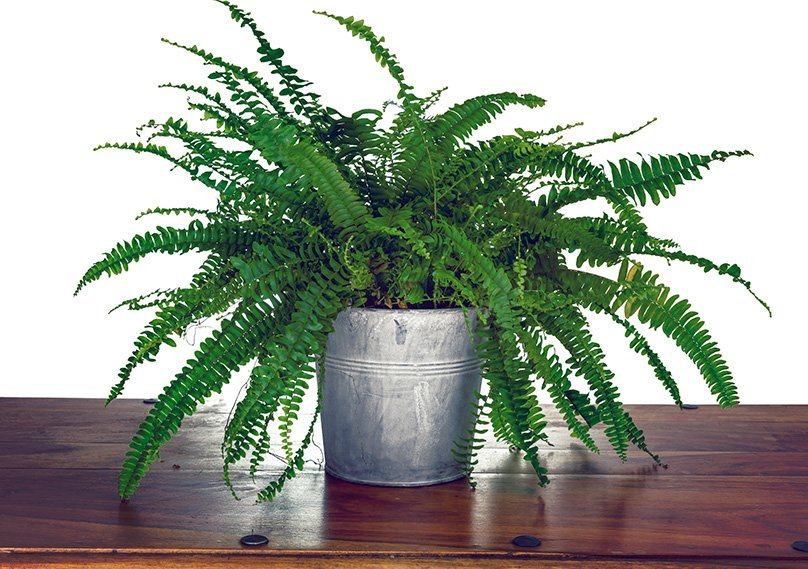Potted Fern for Indoors