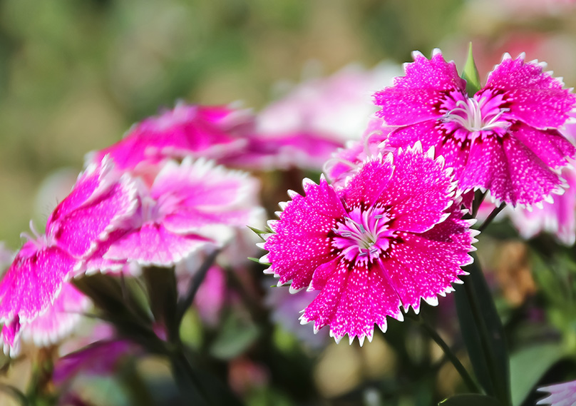 Closeup of the Dianthus Flower