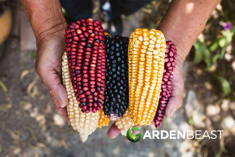 Mexico Corn Crops