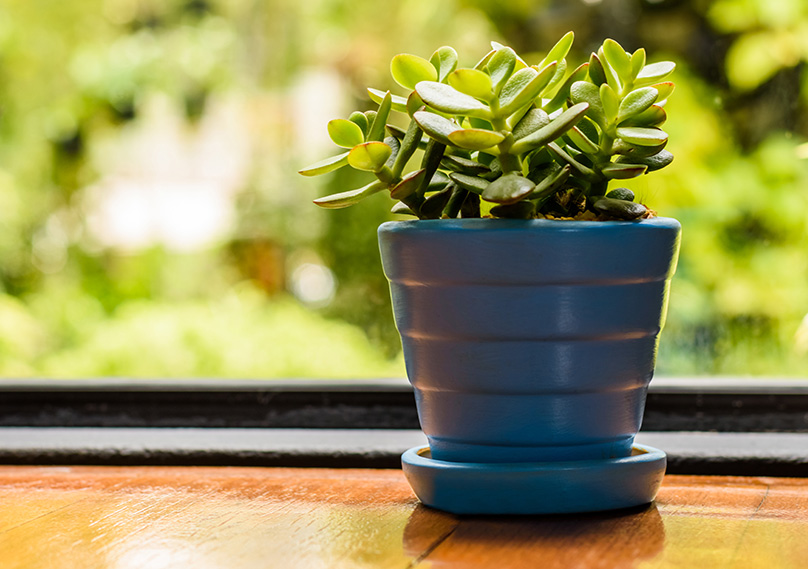 Jade plants are perfect for window sills