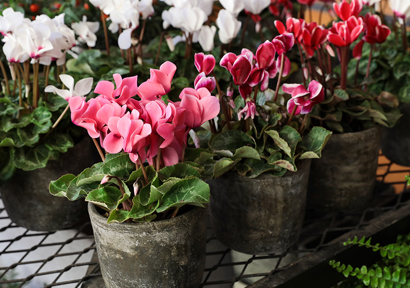 Potted Cyclamen plants
