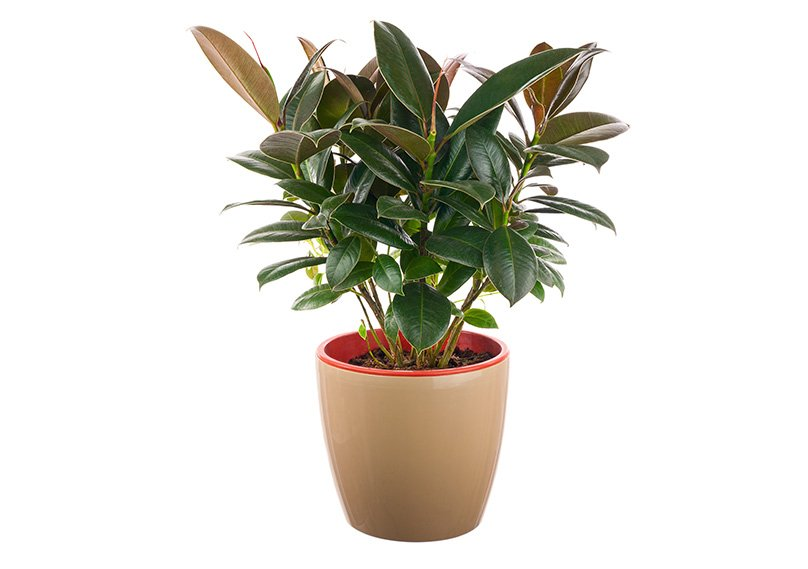 Rubber Plants are great indoors