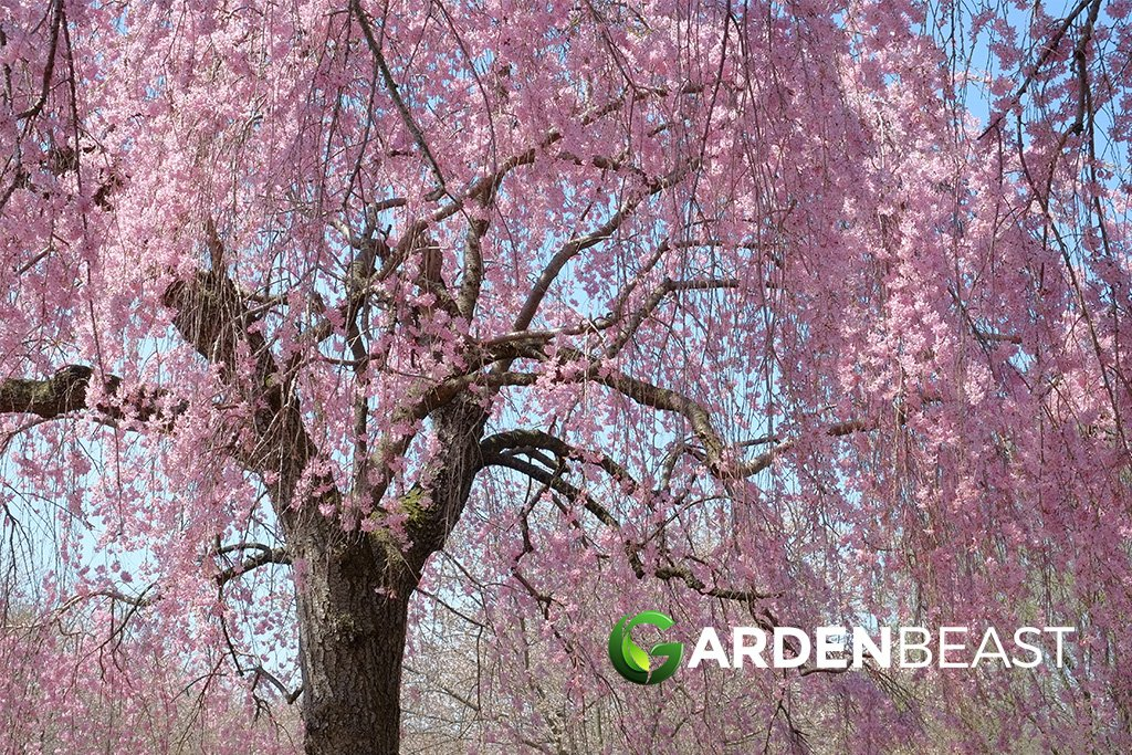 Complete Guide To Weeping Cherry Trees