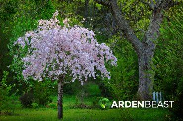 Weeping Cherry Tree