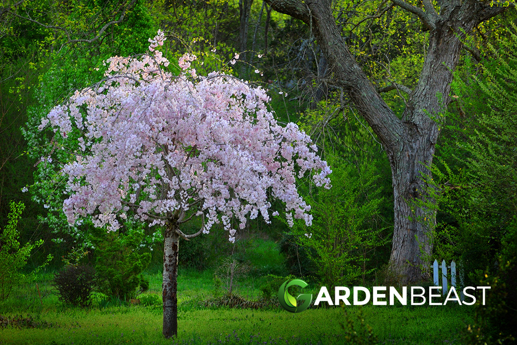 Complete Guide To Weeping Cherry Trees How To Grow Care For Them
