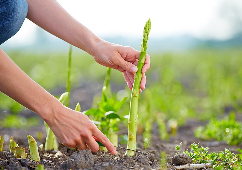Harvesting your Asparagus