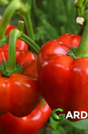 How to Grow Bell Peppers: Complete Guide
